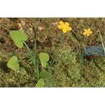 Butterblume / Marsh Marigold 1/35