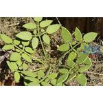 Niedriges Unkraut / Low weed 1/35
