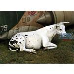 Cow lying down (1:35)