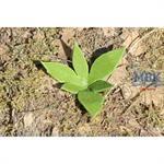 Niedriges Unkraut II. / low weed II.  1/35