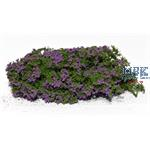 Flowering shrubs lilac / Blühende Büsche lila