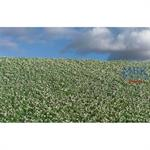 Blühendes Mohnfeld/ Blooming poppy field 29x19