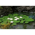 Wasserlilie / Waterlily 1/35