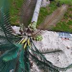 Lying Coconut Palm
