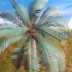 Common Palm