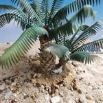 Young Date Palm set
