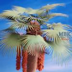 Desert Fan Palm