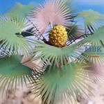 Thick Desert Fan Palm